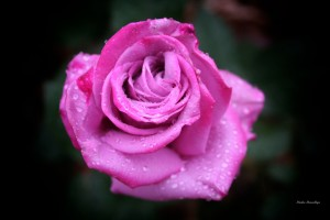 Llewellyn_Oct_Winter Rose