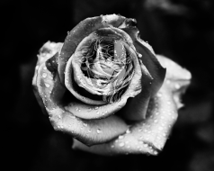 The Perfect Rose_10mb