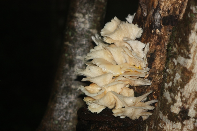 Beautiful white fungus on the side of a tree 1